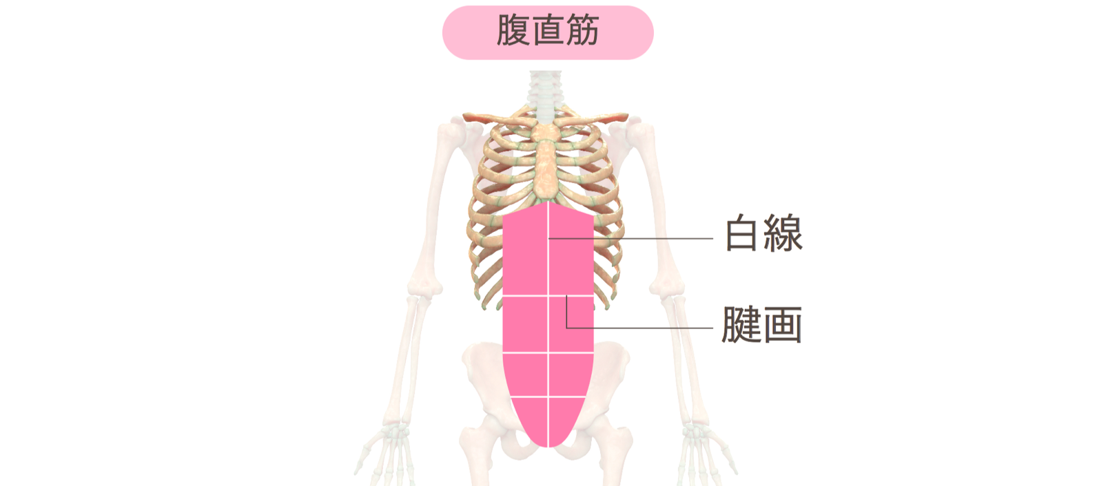 トレ 腹筋 種類 筋