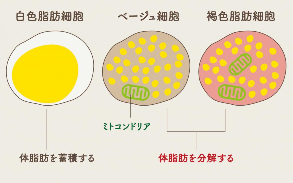 細胞 増やす 脂肪 褐色
